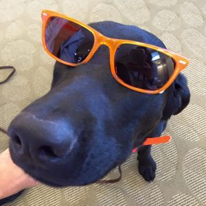 A black lab models orange sunglasses.
