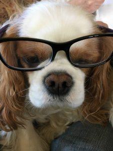 A Cocker Spaniel, named Bella models a pair of eyeglasses.