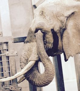 An elephant touches her eye with her trunk.