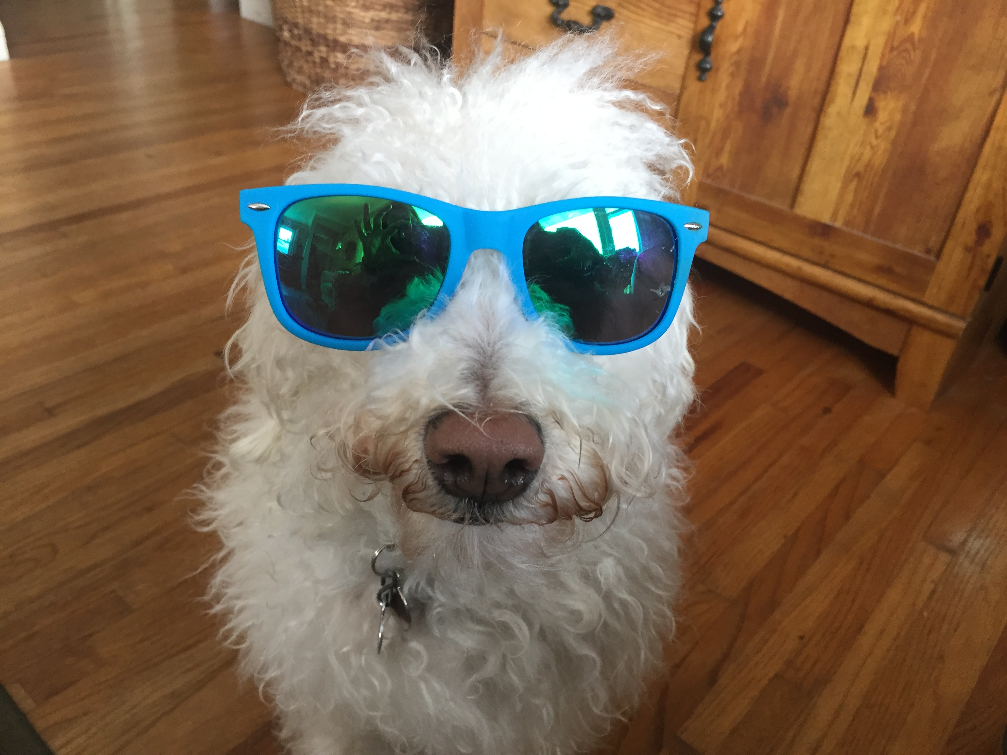 A bright blue pair of sunglasses on a white dog named Emma.