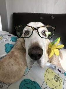 Lana the Basset Hound models a pair of tortoise shell glasses.