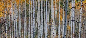 Birch tree trunks in the fall with bright yellow and green leaves in the background